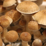 Hongos alucinógenos, ancestrales plantas del misticismo