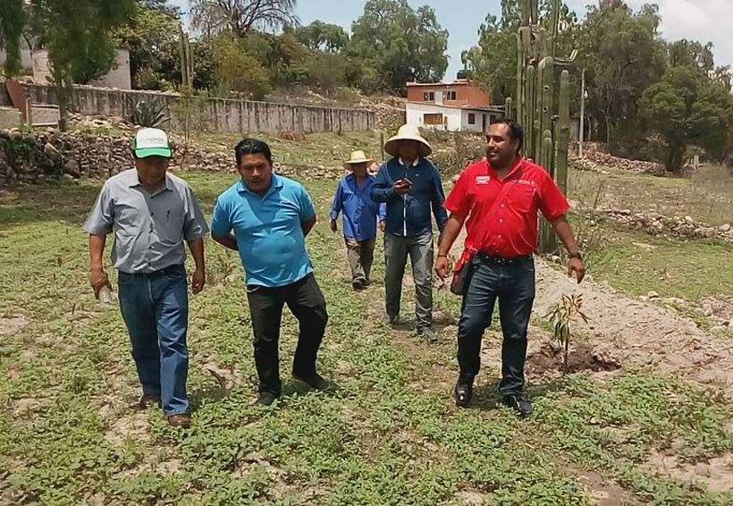 En la Mixteca siembran árboles frutales