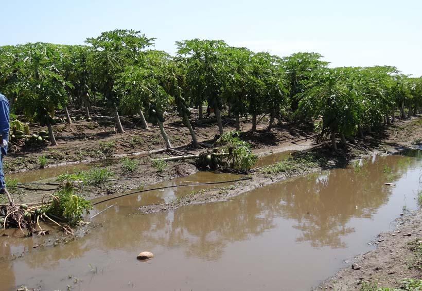 Pierden cultivos de papaya en Jamiltepec por Beatriz