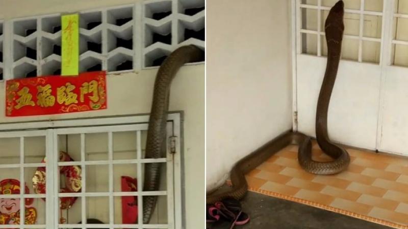 Una cobra inmensa invade una casa de esta manera