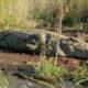 Se queda dormido junto a la laguna y es mordido por un cocodrilo