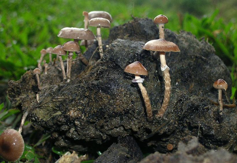 Comenzó la temporada  de hongos alucinógenos en Huautla