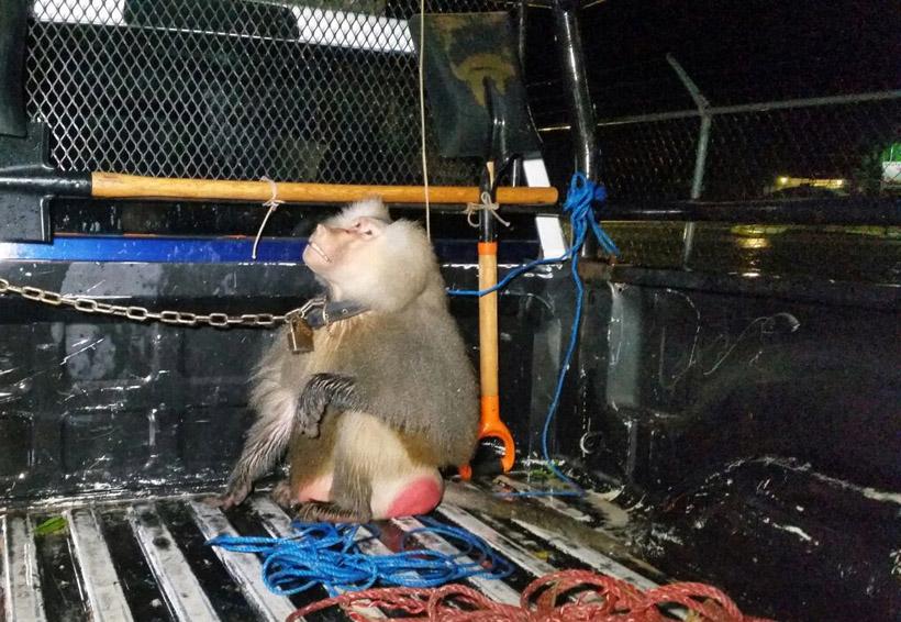 Mono provoca pánico en la Costa