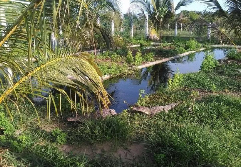 Descartan sobrepoblación de cocodrilos en la Costa