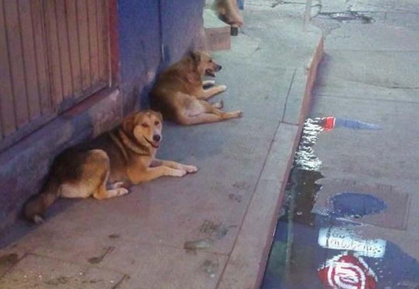 En la Mixteca denuncian aumento de perros callejeros