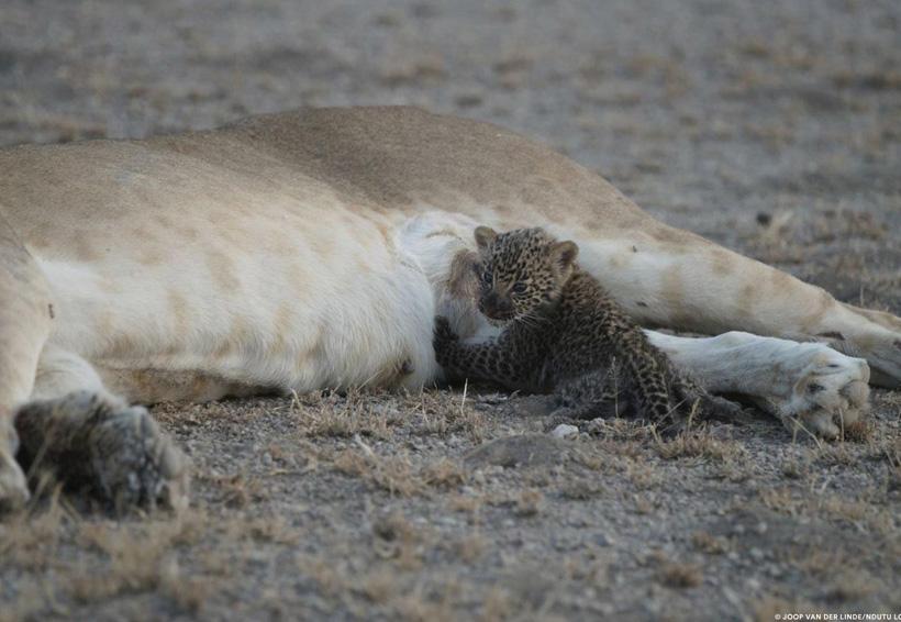 Leona alimenta a cachorro de leopardo, algo poco visto entre especies
