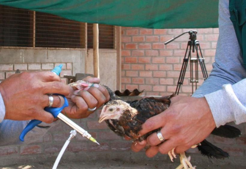 En Tuxtepec realizan campaña de vacunación para aves de traspatio