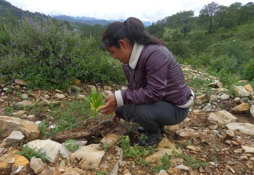 ¿Cuántas  hectáreas se  reforestan en Oaxaca?