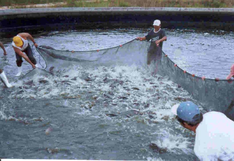 Acusan abandono los productores de mojarra en la Cuenca