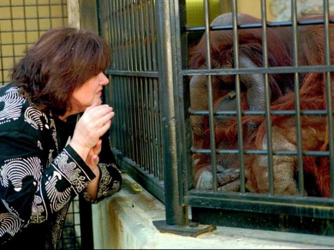 Orangután que aprendió lenguaje de señas fallece en Atlanta | El Imparcial de Oaxaca