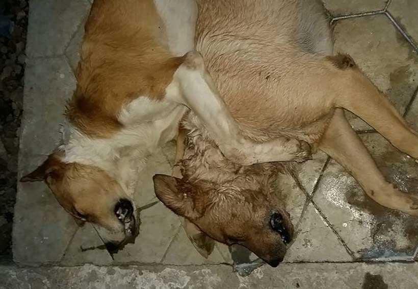 Envenenan a perros en Santa Cruz Amilpas, Oaxaca