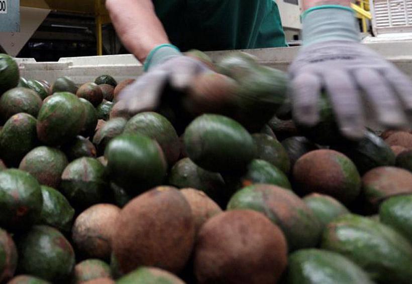 EU abre las puertas a Colombia; exportaran aguacate | El Imparcial de Oaxaca