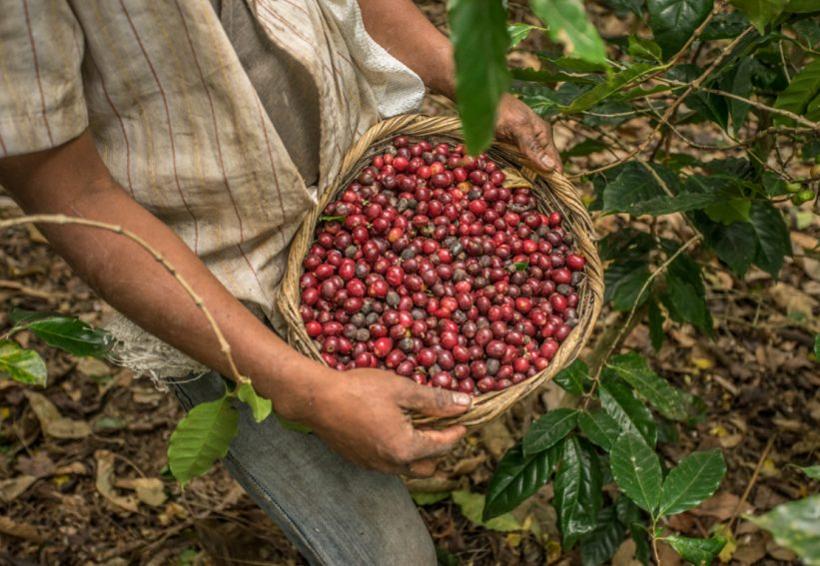 La Ruta del Café despega en la Costa