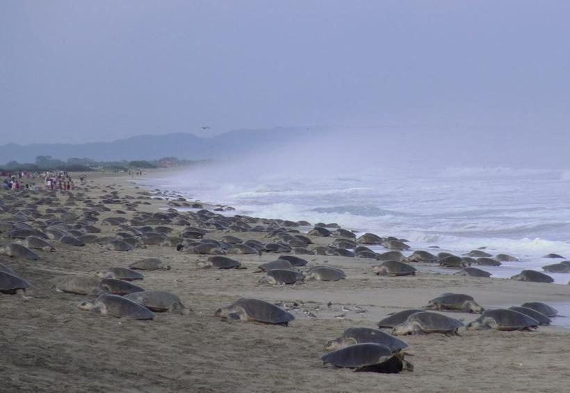 Más de 1 millón de tortugas arribarán a Morro Ayuta, Oaxaca