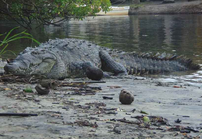 Alertan en Chacahua a extremar medidas para evitar el ataque de cocodrilos