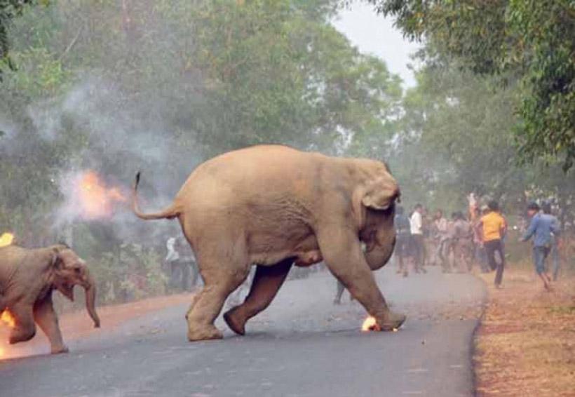 Fotografía de elefante en llamas gana concurso en la India | El Imparcial de Oaxaca