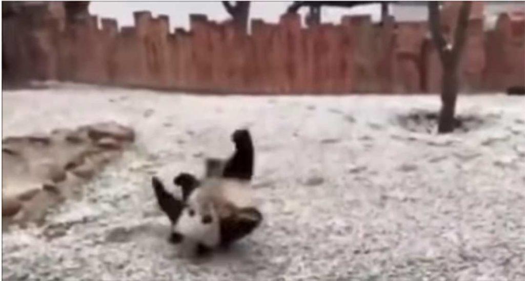 Video: Dos pandas enloquecen de alegría al conocer la nieve | El Imparcial de Oaxaca