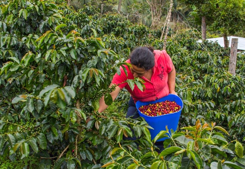 Jacatepec busca reactivar la producción agropecuaria | El Imparcial de Oaxaca