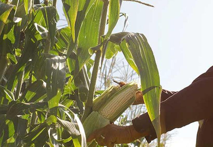 Denuncian robo de maíz  en conflicto de tierras | El Imparcial de Oaxaca