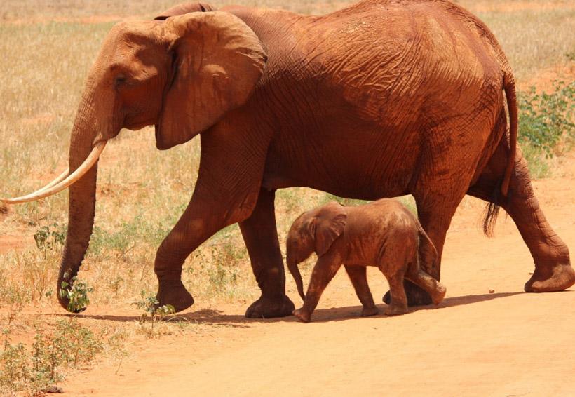 Video: Elefante sorprende con agradecimiento por el rescate de su bebé | El Imparcial de Oaxaca