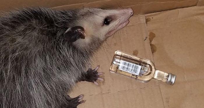 Una zarigüeya es encontrada en estado etílico tras beber de una botella de bourbon en Florida   El Imparcial de Oaxaca