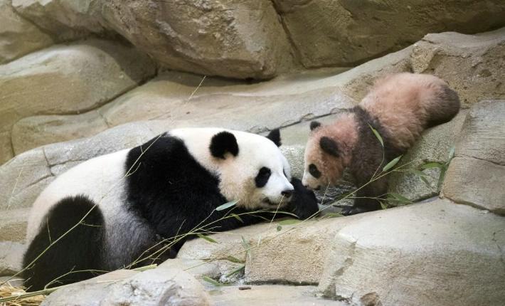 Bebé panda de Francia hace primera aparición en público | El Imparcial de Oaxaca