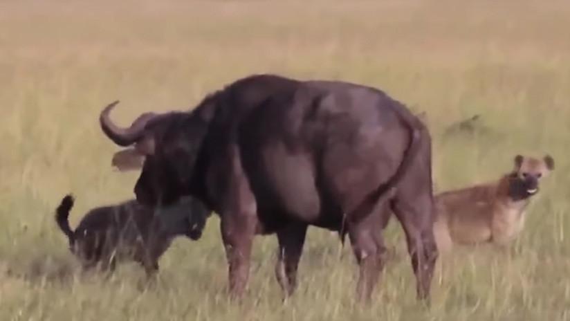 Video: Hienas le arrancan los testículos a un búfalo y lo devoran vivo | El Imparcial de Oaxaca