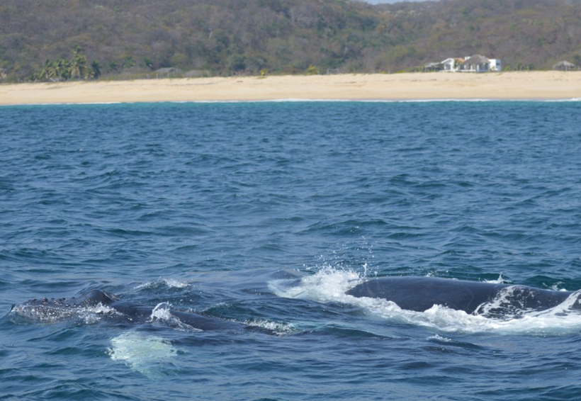 En el Pacífico Sur, Oaxaca, único en avistamiento de ballenas | El Imparcial de Oaxaca