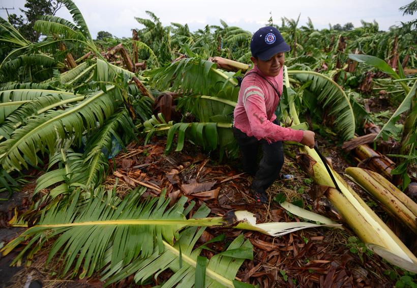 Desciende 80% producción  de plátano macho en San Bartolo, Oaxaca | El Imparcial de Oaxaca