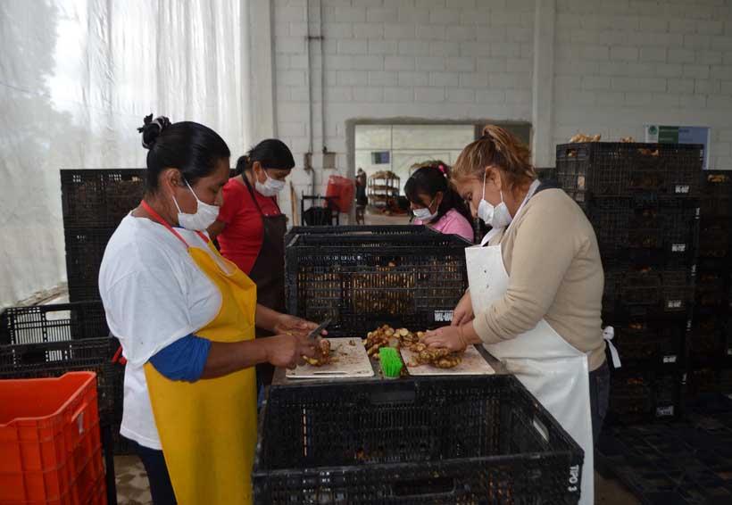 Generan empleo en Santa María Jacatepec con cultivo de jengibre