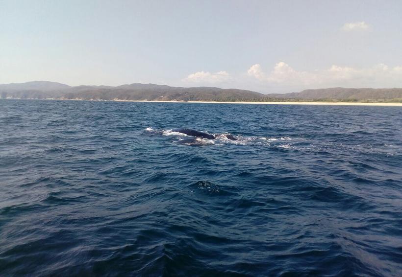 Nace ballenato en la Costa de Oaxaca