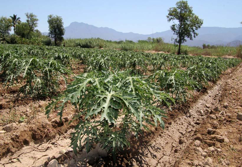 productores de papaya sin apoyos del gobierno de oaxaca