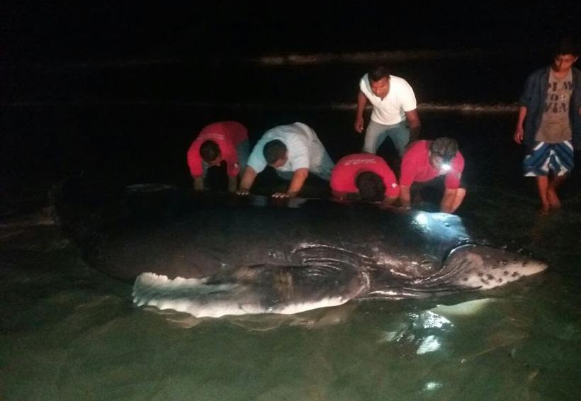 Logran salvar a cría de ballena en costas de Oaxaca