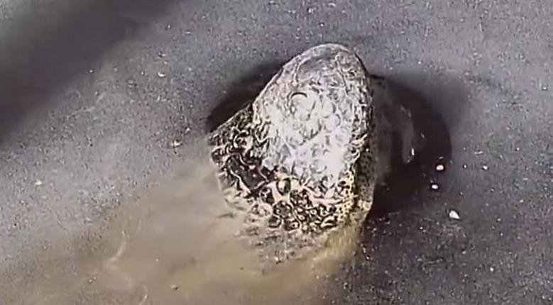 Video muestra la técnica de los caimanes para sobrevivir a las bajas temperaturas en California, EU | El Imparcial de Oaxaca