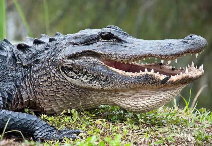 Continua búsqueda de niño atacado por un cocodrilo en Pinotepa Nacional, Oaxaca   El Imparcial de Oaxaca