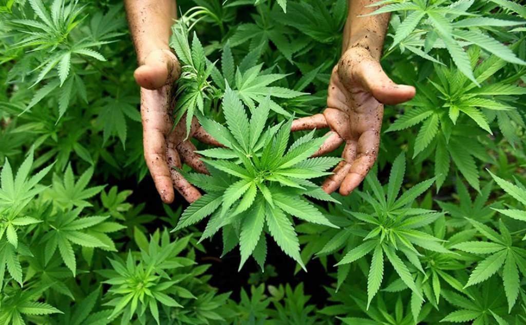 Legalización de mariguana es amenazada por Trump | El Imparcial de Oaxaca