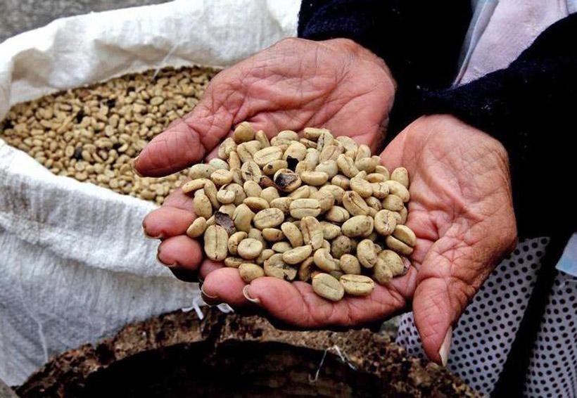 Por el frío, en Oaxaca cafeticultores tendrán la peor cosecha   El Imparcial de Oaxaca