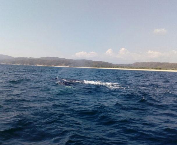 Turistean ballenas en Costa de Oaxaca