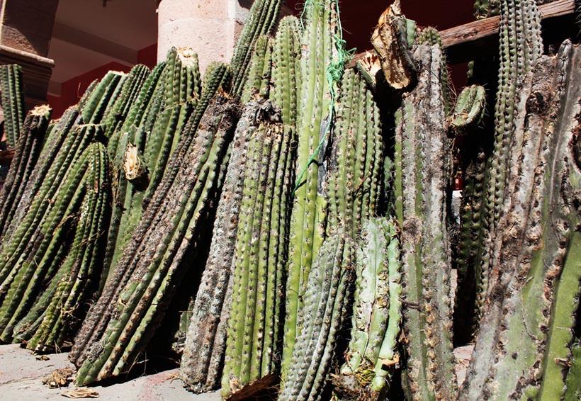 Tamazulápam recuperará  producción del Xoconostle