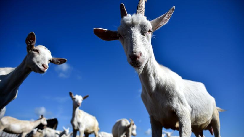 Este acertijo para escolares sobre ovejas y cabras deja desconcertados a los internautas | El Imparcial de Oaxaca
