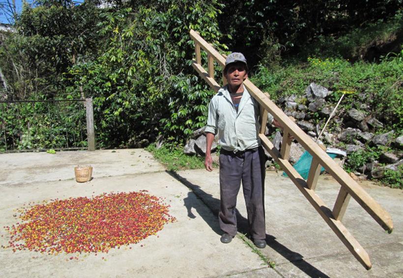 Cafeticultores tendrán la peor cosecha por  el frío en Huautla de Jiménez, Oaxaca | El Imparcial de Oaxaca