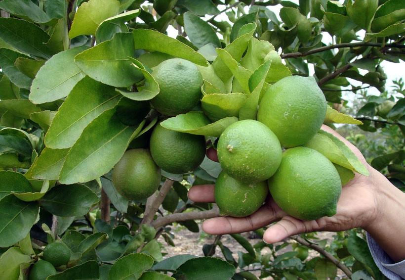 Limoneros de Bethania  esperan repunte de cosecha | El Imparcial de Oaxaca