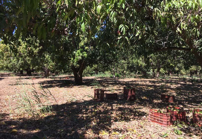 Producción de mango afectada por los vientos del Istmo