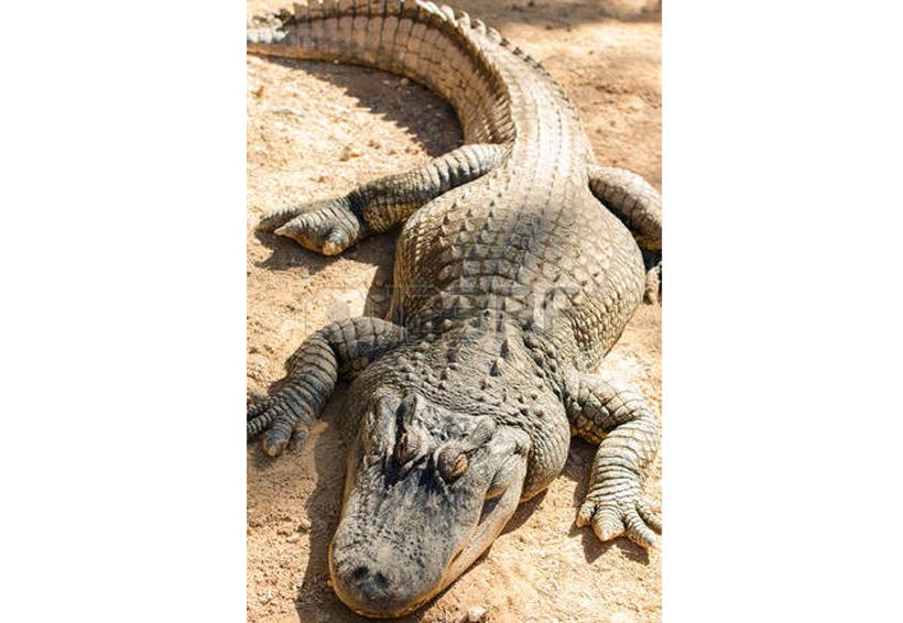 Vigilará Protección Civil comportamiento de lagartos | El Imparcial de Oaxaca