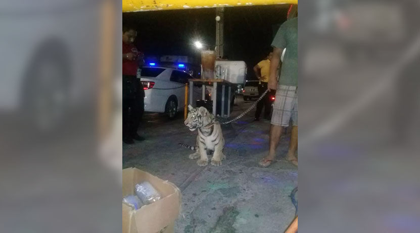 Incauta Profepa a tigre en en Istmo; era mascota   El Imparcial de Oaxaca
