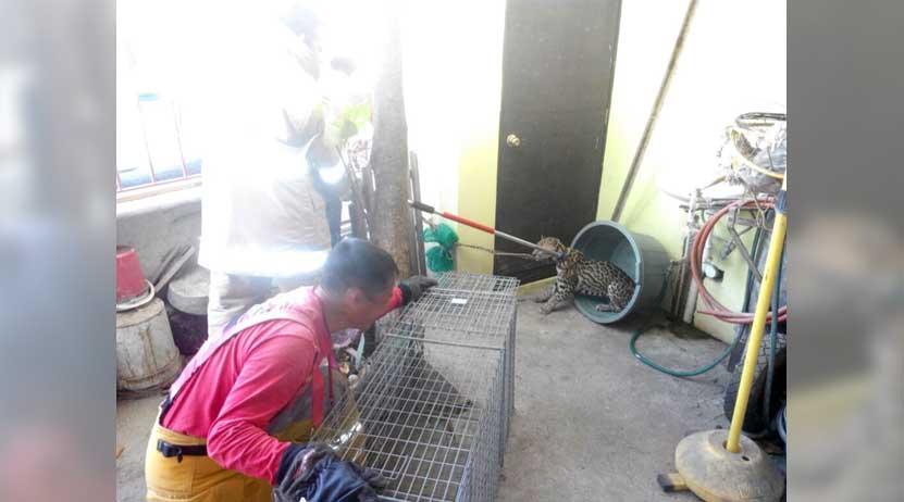Atrapan a un tigrillo en Huatulco | El Imparcial de Oaxaca
