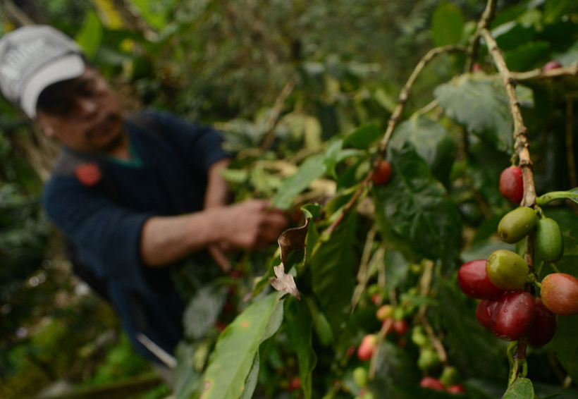 Van al rescate de la producción de café en Oaxaca | El Imparcial de Oaxaca