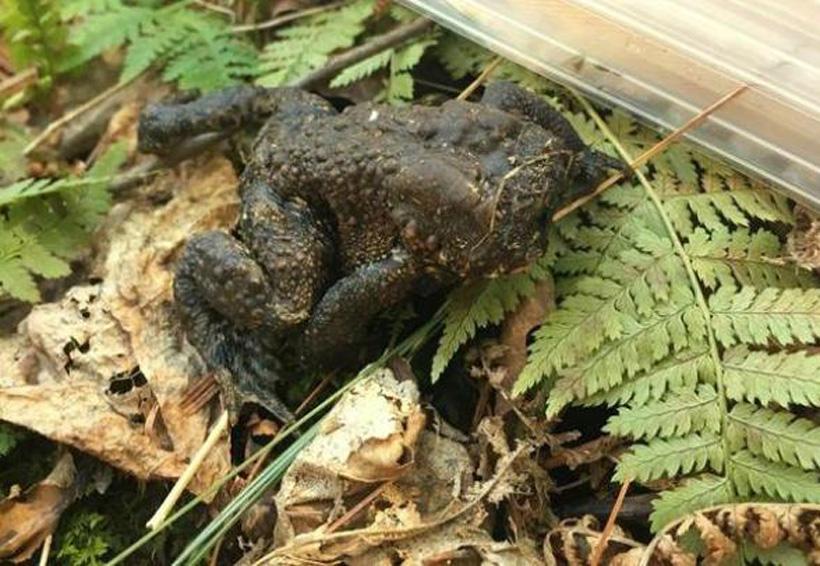 Científica halla un sapo sin cara en el bosque de Massachusetts | El Imparcial de Oaxaca
