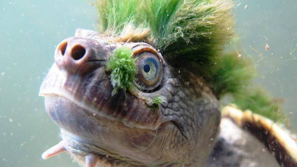 """La toruga """"punk"""" de cabello verde está en peligro de extinción   El Imparcial de Oaxaca"""