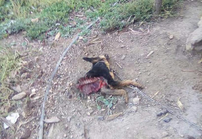 """Alarma en Cajonos, Oaxaca, por ataque de """"bestia"""" a perros"""